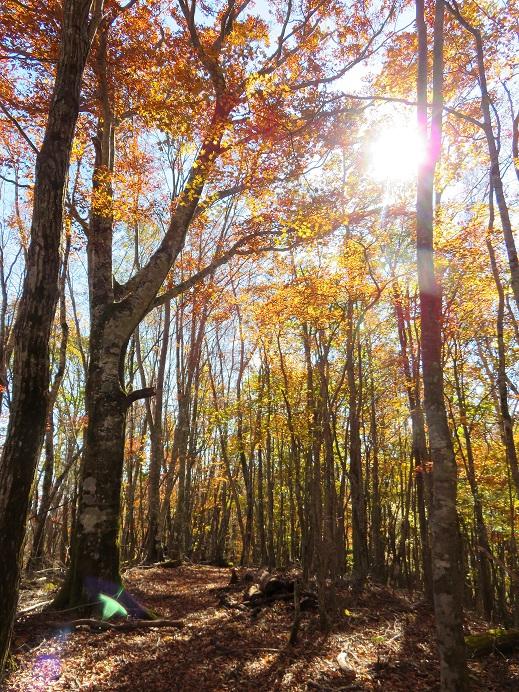熊倉山からサオラ峠登山道の落ち葉