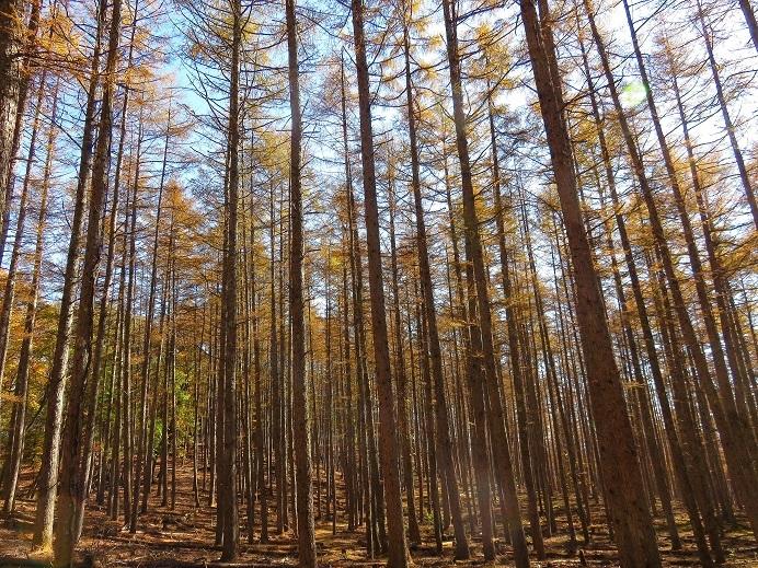 サオラ峠の落葉松の紅葉