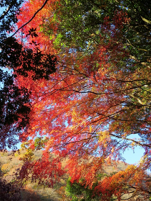 丹沢湖紅葉