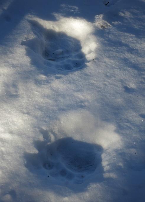 雪につく熊の足跡