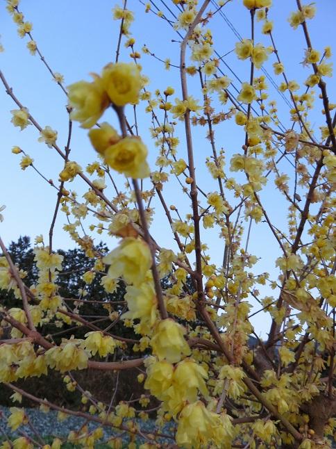 蝋梅の蝋梅の花