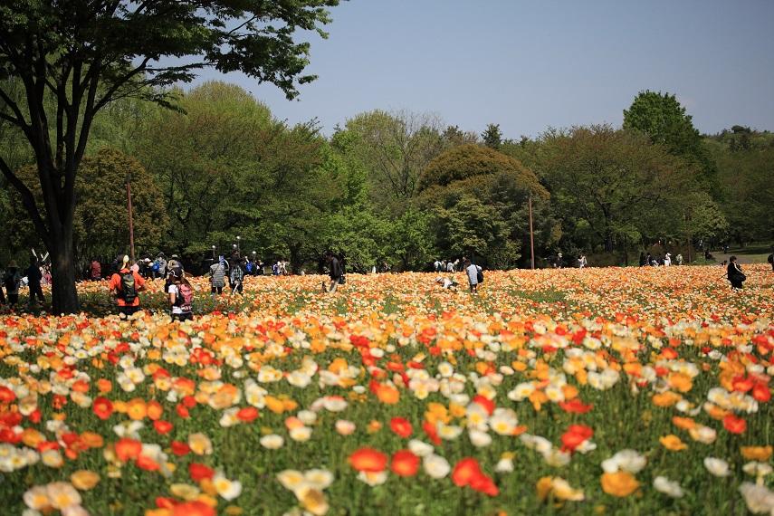 昭和記念公園ポピー畑
