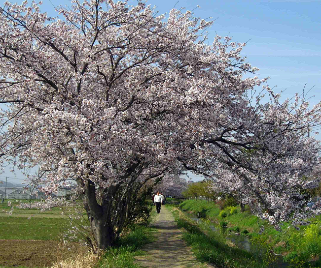 伊勢原渋田川の芝桜と満開の桜