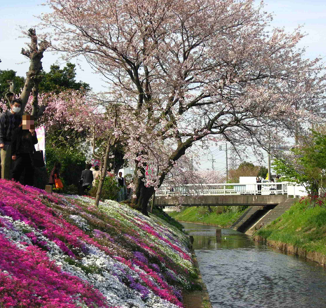 渋田川沿いに咲いている、桜と芝桜