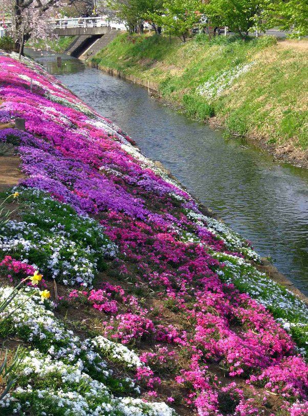 伊勢原渋田川の芝桜
