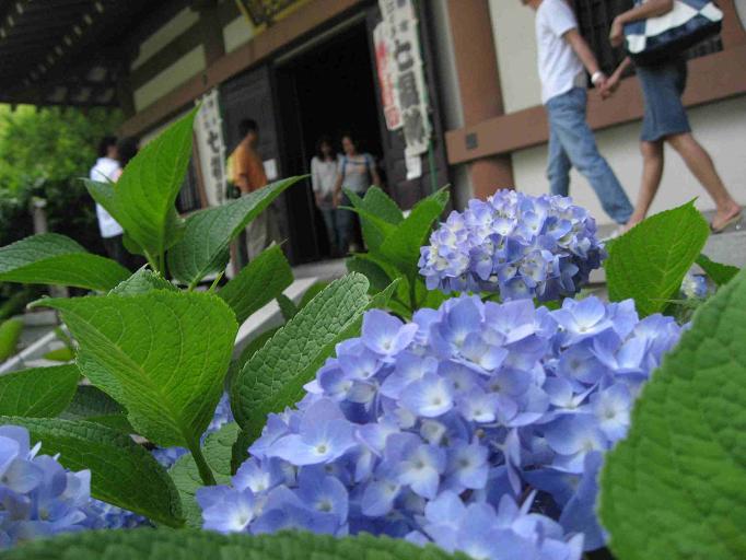 鎌倉長谷寺紫陽花
