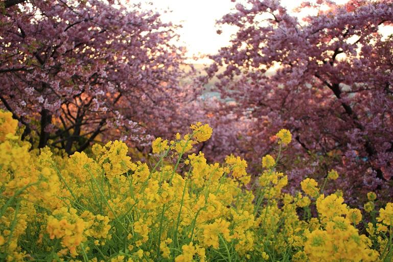 松田ハーブガーデンは、菜の花と河津桜のコラボ