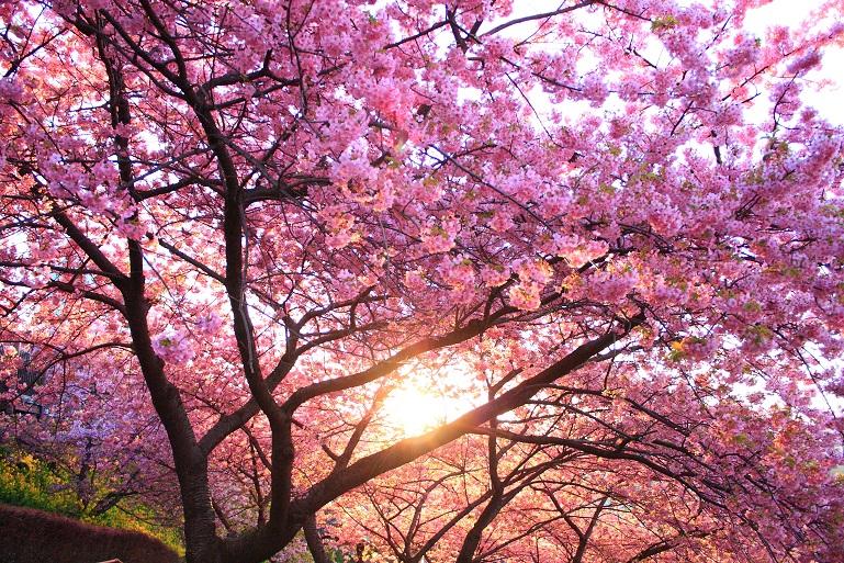 松田ハーブガーデンの河津桜