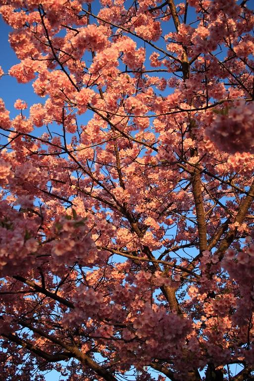 ソメイヨシノと比べて、ピンクが濃いのが河津桜の特徴
