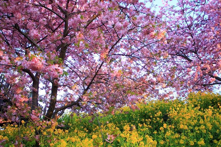 松田ハーブガーデンの河津桜と菜の花の競演