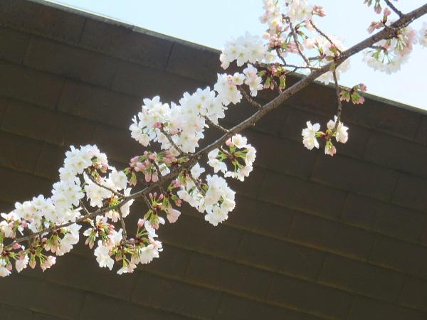 靖国神社周辺の桜