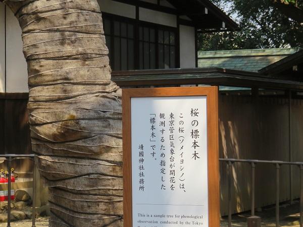 靖国神社の桜の標本木