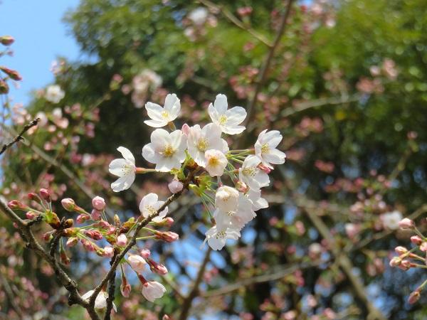 靖国神社の標本木の桜開花