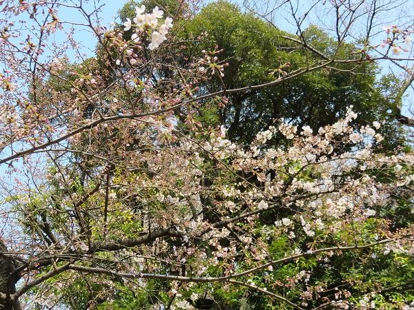 靖国神社の桜の標本木の開花状況