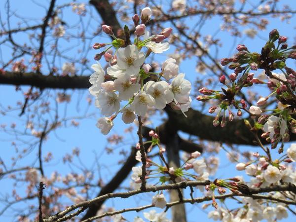 都内の桜の開花状況