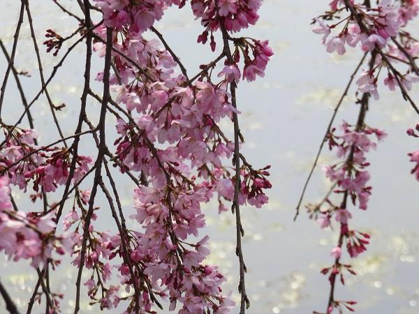 皇居の大手門周辺の枝垂桜