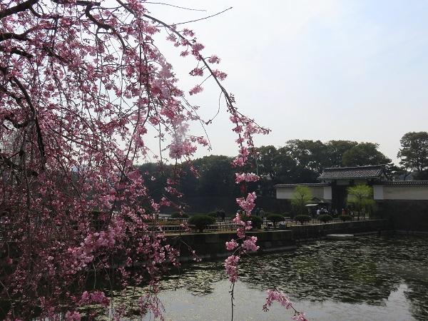 枝垂桜の開花状況は、7部咲き