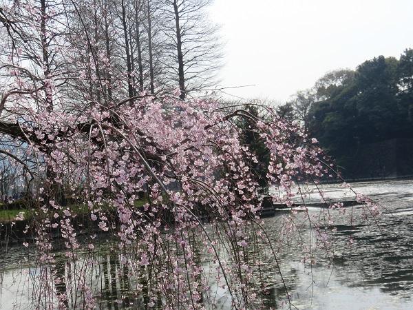 皇居のお堀の景色に溶け込む桜