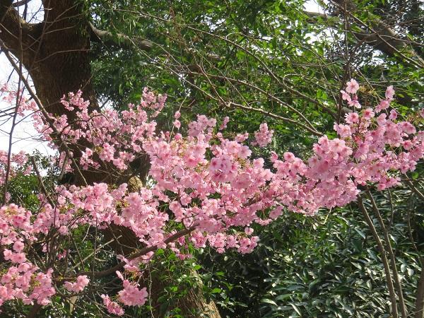 皇居のお堀周辺のソメイヨシノは、全体的に5部咲