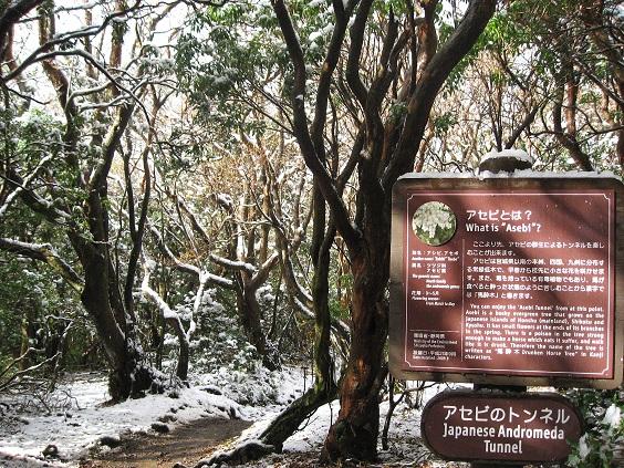 万三郎岳登山道アセビのトンネル
