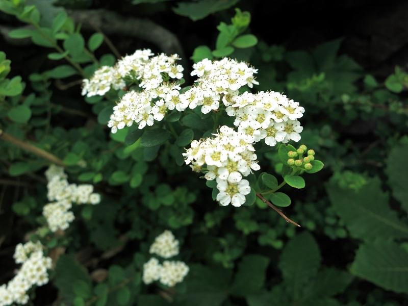 谷川岳の登山道お花