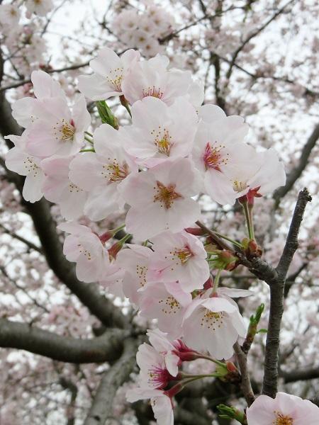 神奈川県の桜の状況