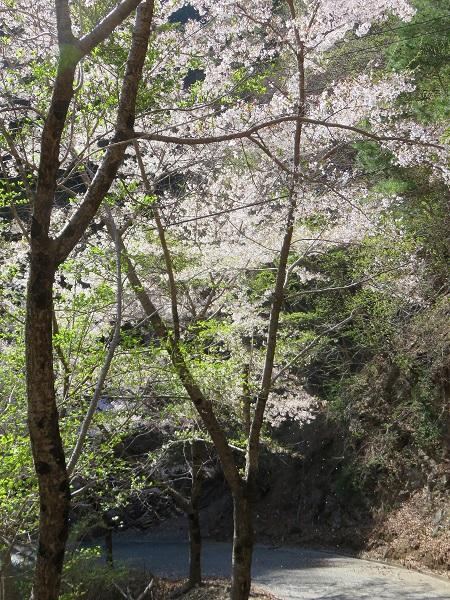 釈迦ヶ岳周辺の林道桜が満開