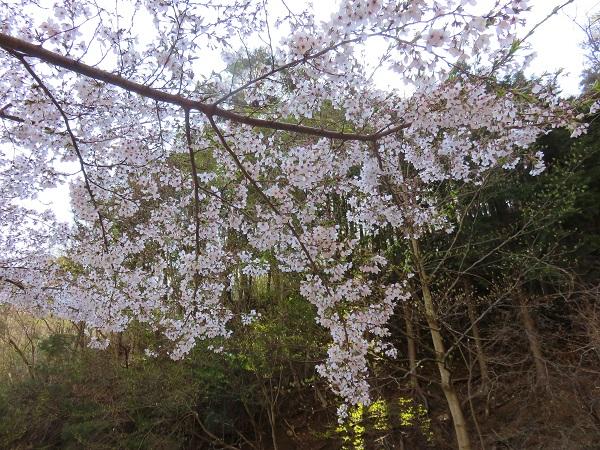 御坂山塊桜の満開