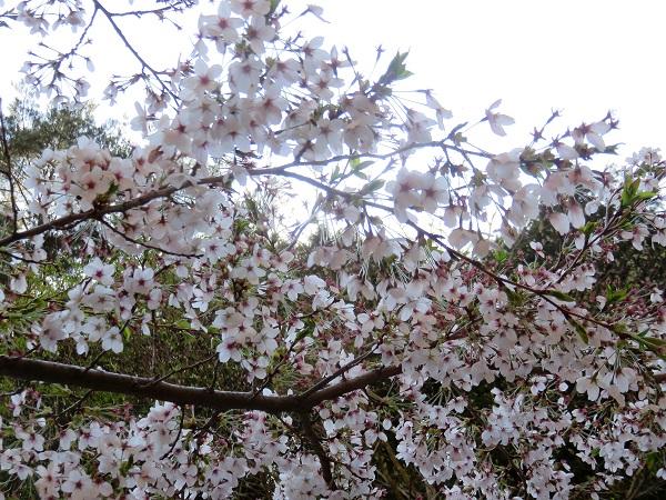 御坂山塊周辺の桜は旬