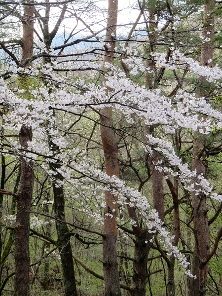 富士五湖周辺の桜の様子