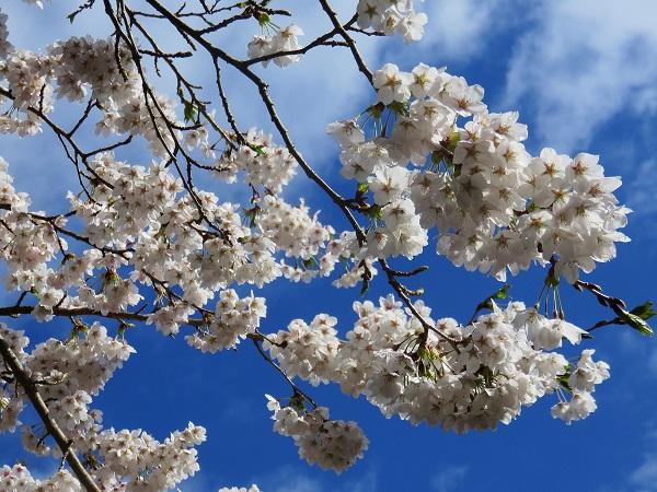 御坂山塊周辺の桜