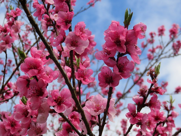 濃いピンク色のお花