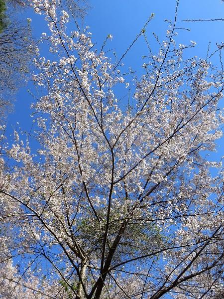 山桜マメザクラ