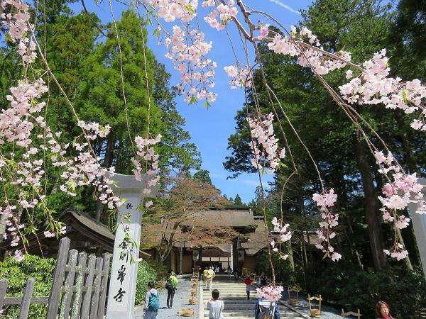 熊野古道小辺路桜