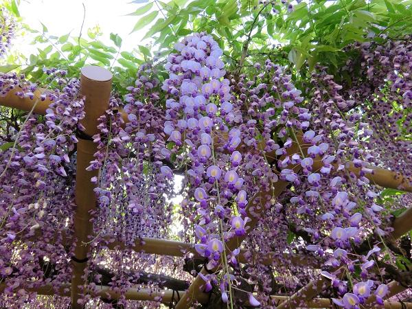 奈良春日大社藤の花