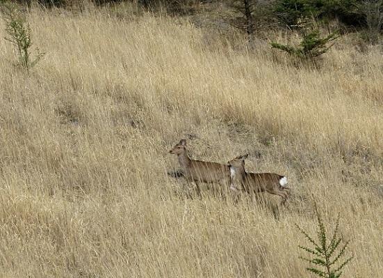 西沢渓谷鹿