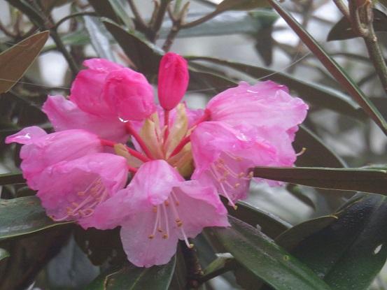 長沢背稜のシャクナゲ花