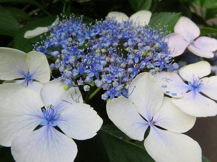 薄い青色紫陽花