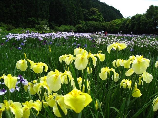 加茂荘花鳥園の花菖蒲
