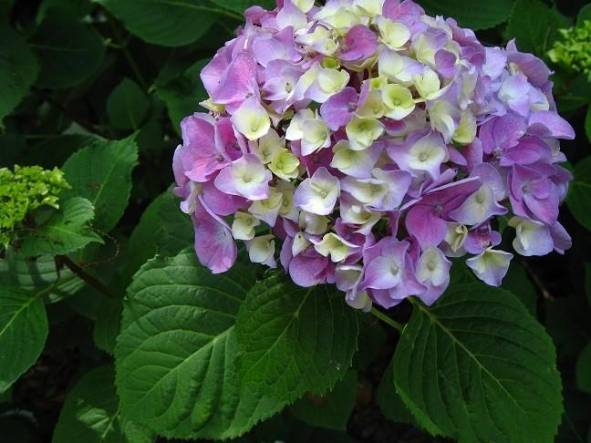 紫陽花のお花