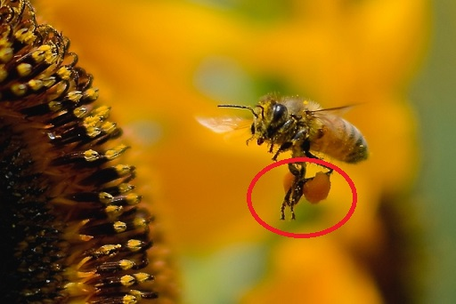 蜂脚に花粉ボールを付けて飛んでいる光景