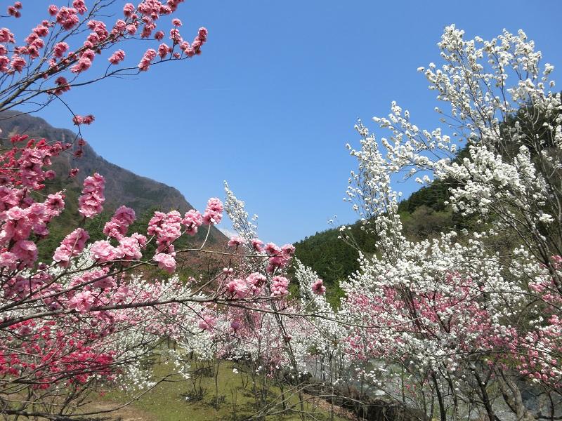 西山温泉湯島の湯桃の花