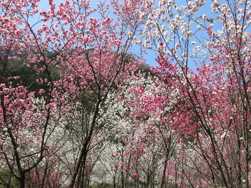 桃の花湯島の湯