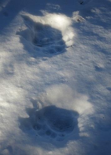 丹沢山塊冬山登山中に見つけたクマの足跡