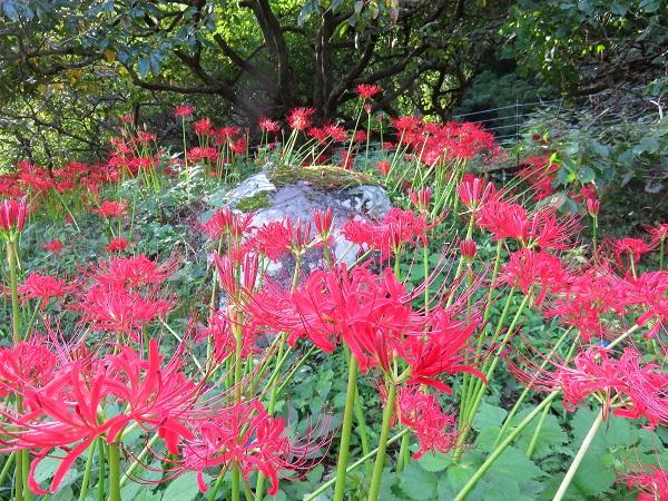 彼岸花花の最盛期