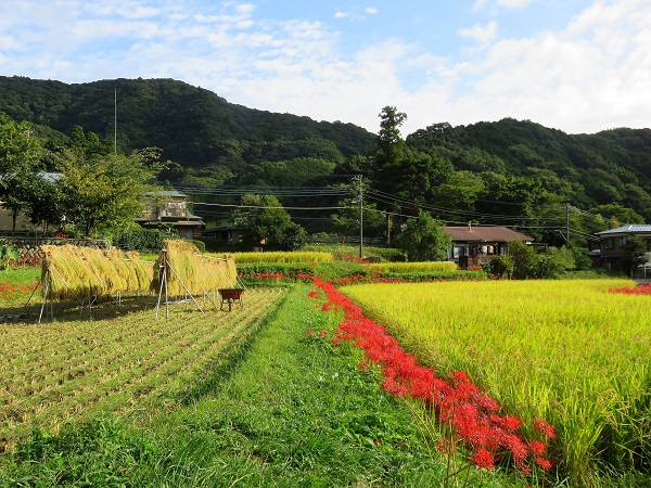日向薬師群落と稲のコラボレーション