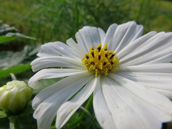 日向薬師純白お花