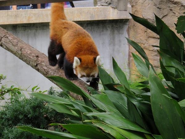 レッサーパンダ野毛山動物園