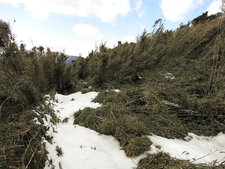 金時山登山は竹藪との闘い