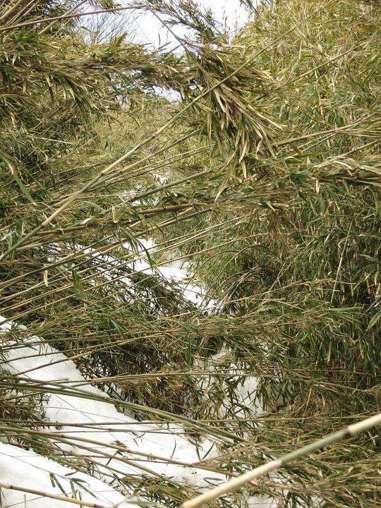 竹藪の登山道と雪道